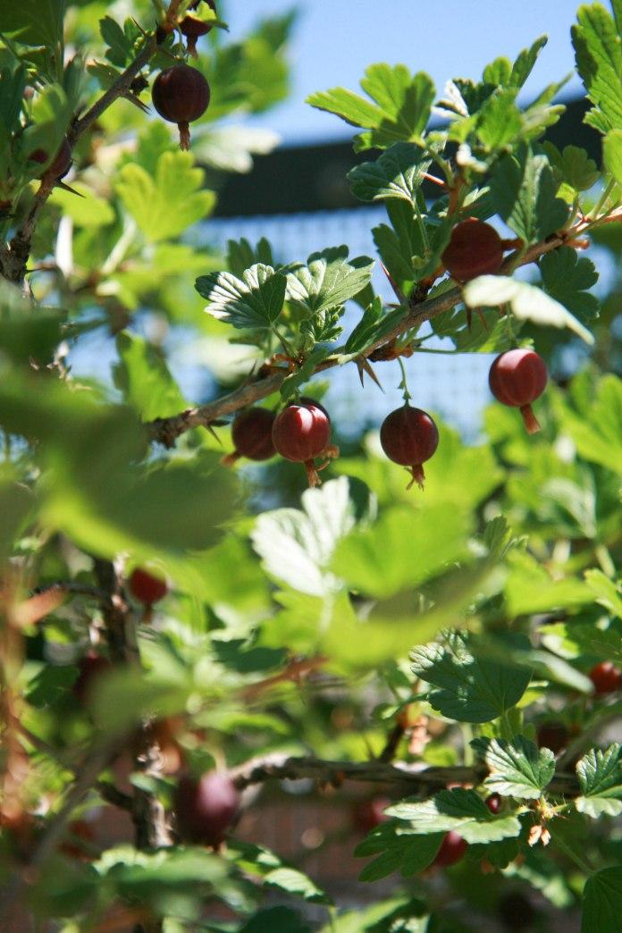 gooseberry tree close up